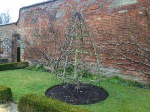 bare bones of espalier pears in walled garden West Dean, W Sussex